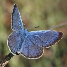 Modrásek hořcový Rebelův ( Maculinea alcon rebeli)