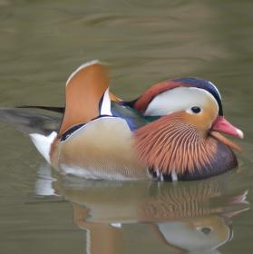 kachna mandarínská