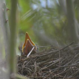 Ptáče kosa obecného