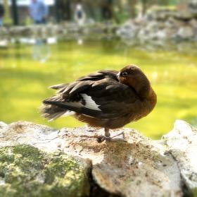 Žiarivá kačica