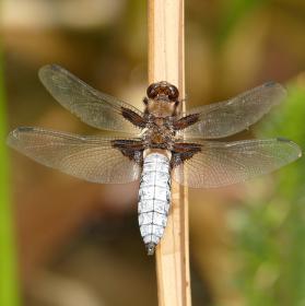 Vážka ploská - sameček