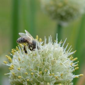 Práce našich včel