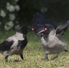 Vrána obecná šedá