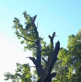 Mouřenínův dub