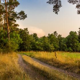 Cesta lemovaná borovicemi