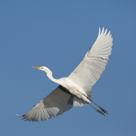 Volavka bílá v letu