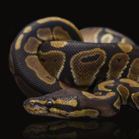 Krajta královská (Python regius)