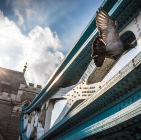 Londýnsky holub