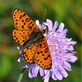 Hnědásek květelový  (Melitaea didyma Esp.)