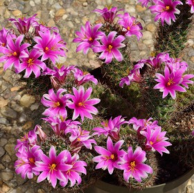 Mammillaria (fialové květy)