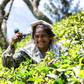 Tamilská žena trhající lístky čaje