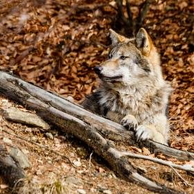 Vlk obecný