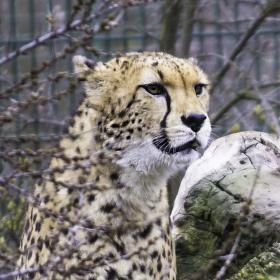 Levhart z plzeňské zoo