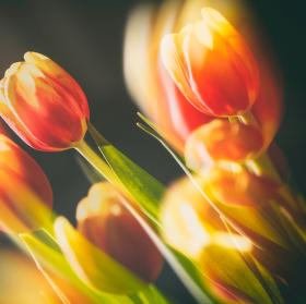 zátiší s tulipány IV.