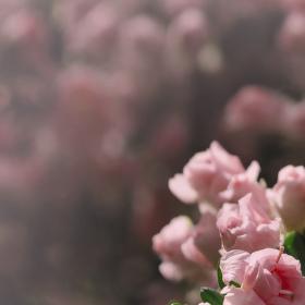 Růžová...