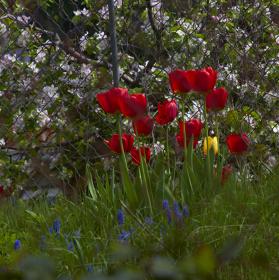 Žlutý tulipán