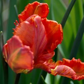 Panpán Tulipán