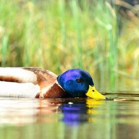 Jsem kačer z Kachního rybníka :-)