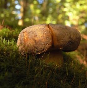 houbičková