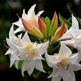Rhododendron ´Mécene´