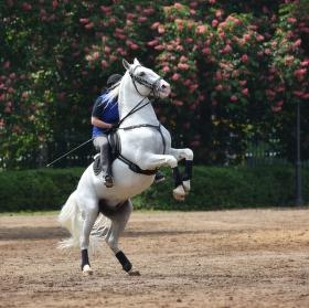 Krása kladrubského koně