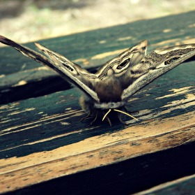 Motýlek III