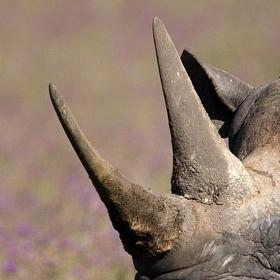 Nosorožec dvourohý...