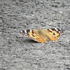 Babočka flekatá po přistání na asfaltové šotolině...