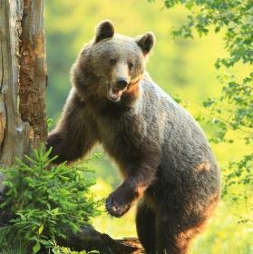 medvědice wild NP Malá Fatra