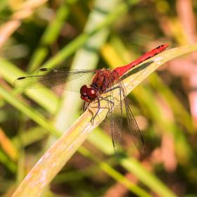 Vážka rudá (kluk)