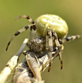Spider VS kobylka
