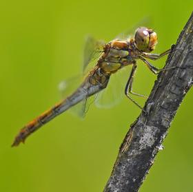 vážka obecná - samička ( aby byla nějaká změna :-) )