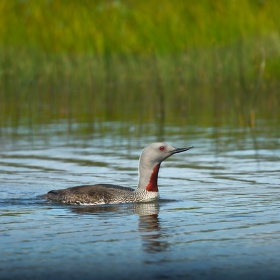 obrázky z islandské přírody 34 aneb ... rudooká kráska