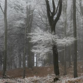 V mrazivém tichu lesa
