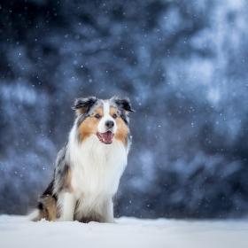 Zimni pes