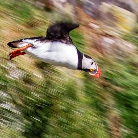 Papuchalek v letu
