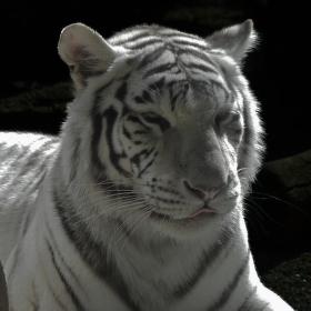 Odpočinek Tygra Indického