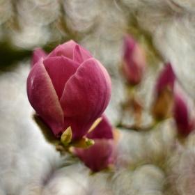 Magnolie v zámeckém parku v Pardubicích