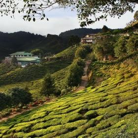 Čajové plantáže - Cameron highlands ( Malaysia)