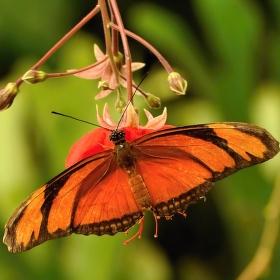 Tropický motýl - Fata Morgána