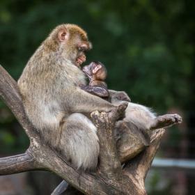 Opičí láska II