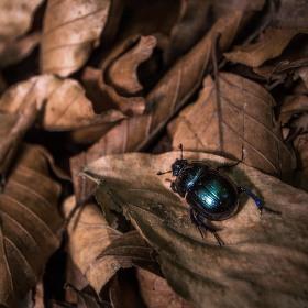 Chrobák lesní/Anoplotrupes stercorosus