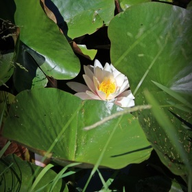 Stunning water lilies...