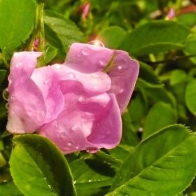 Květ šípku po dešti