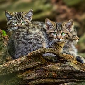 Jsme kočky divoké...
