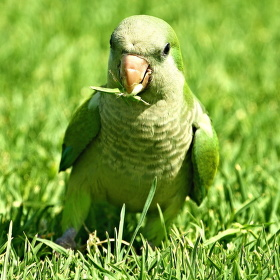 Papoušek na pastvě