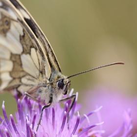 Chrpa s motýlem
