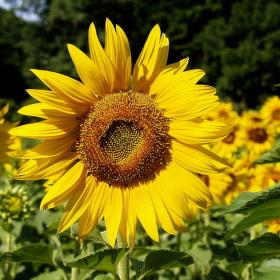 Sunflower greeting  . . .