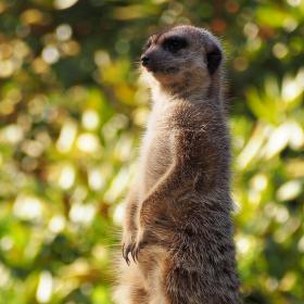 Zvědavá surikata