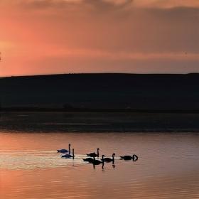 Rodiče a dospívající labutě